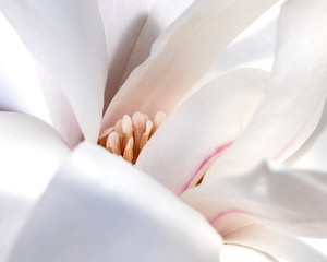 Magnolia bloom with petals opening