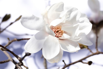 Single magnolia bloom with branch