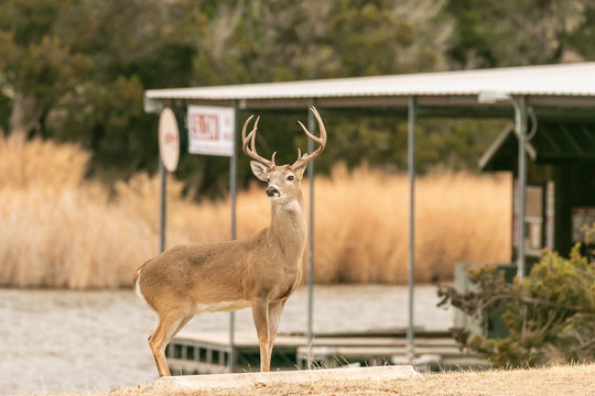 Big buck whitetail deer standing next to the water