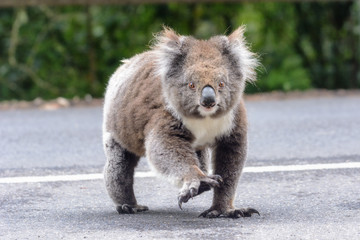 Garden Poster Koala Why did the koala cross the road