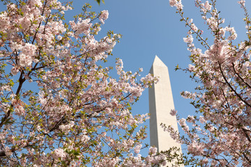 Cherry Blossom Trees around Washington Memorial in Washington D. Picture taken on April 2019. during the Annual Cherry Blossom Festival.