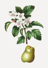 Crabapple fruit tree