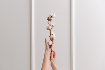 Female hands with cotton flowers on white background