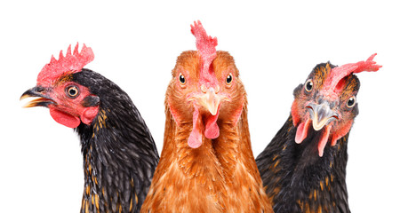 Portrait of three chickens, closeup, isolated on white background