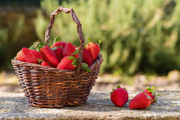 Basket of freshly picked strawberries in the garden