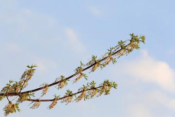 Fototapeta Gałązka kwitnącego klonu, kwiaty, pręciki na tle nieba. obraz