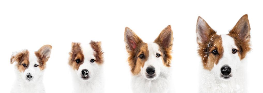 Panorama, Hund zeigt Wachstum oder Wachstumsphase, von Welpe bis ausgewachsen