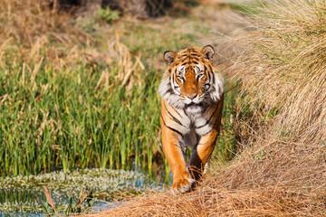 Printed kitchen splashbacks Tiger Male tiger walking in Tiger Canyons Game Reserve in South Africa