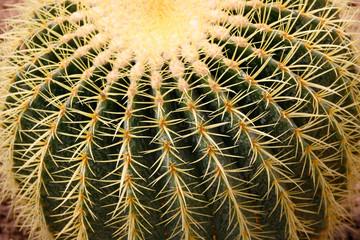 Closeup image of Golden barrel cactus (echinocactus grusonii) (Echinocactus). Quills and prickly cactus spines.