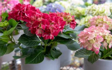 Zelfklevend Fotobehang Hydrangea Pink and light pink hydrangea or Hydrangea macrophylla floral background.