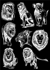 Graphical set of lions isolated on black background,vector illustration,African animal