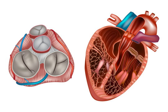Heart valves anatomy. Mitral valve, pulmonary valve, aortic valve and the tricuspid valve.