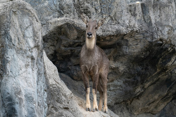 .goral standing on the rock