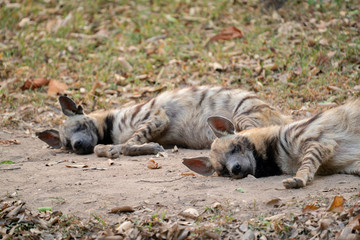 striped hyena  sleeping