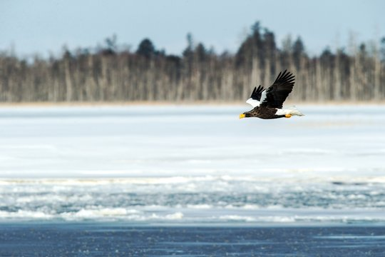 Steller's sea eagle in flight, Hokkaido, Japan, majestic sea raptors with big claws and beaks, wildlife scene from nature,birding adventure in Asia,beautiful winter scenery with flying bird