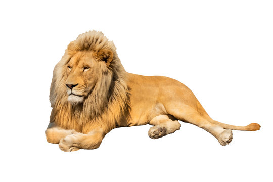 lion isolated on white