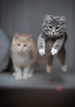 front view of a blue tabby maine coon kitten jumping over the couch to catch the red dot of a laser pointer. another cat in the background is watching.