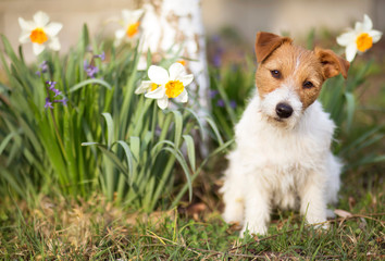 Funny cute jack russell pet dog puppy sitting with daffodil Easter flowers in spring