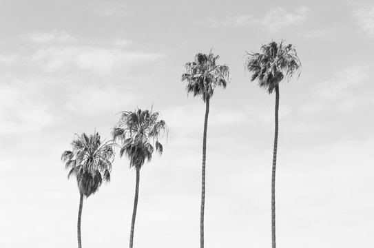 Black and white toned four tall Palm trees with sky background