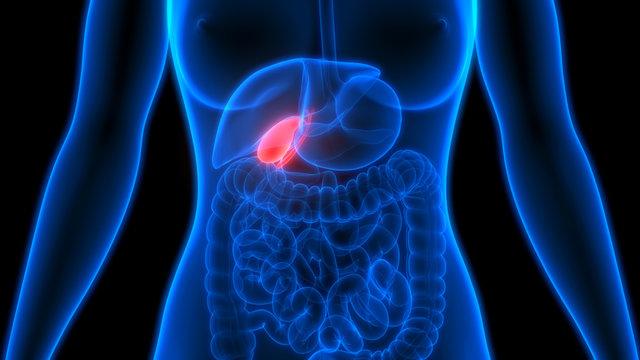 Human Organs Gallbladder Anatomy