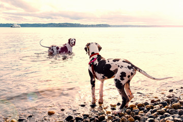 Adult harlequin great dane wading into surf trying to teach puppy how to swim