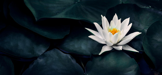 Photo sur Aluminium Fleur de lotus Beautiful white lotus flower closeup. Exotic water lily flower on dark green leaves. Fine art minimal concept nature background.