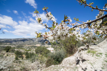 Cherry blossom in Gallinera valley Spain