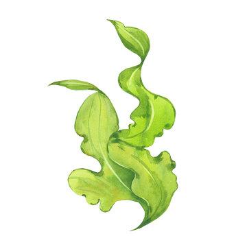 watercolor green seaweed