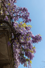 Climbing wisteria vines in full bloom in the spring day. Milan, Italy