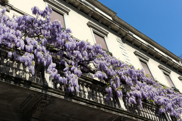 Wisteria plant climbing  up the balcony of the house in the spring day. Milan, Italy