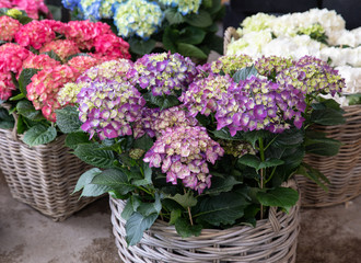 Photo sur Toile Hortensia Variety of hydrangea macrophylla flowers in violet, pink, white colors in the garden shop.