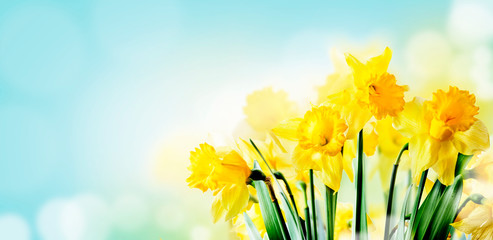 Closeup of beautiful spring daffodil bunch in garden with sunlight and bokeh sky background.