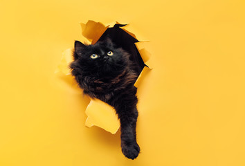 Funny black cat ripped yellow paper and looks up. Copy space. Fototapete