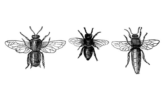 Vintage Vector Drawing or Antique Engraving Illustration of Honey Bee or Honeybee Drone, Worker and Queen