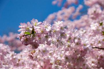 cherry tree blossom during springtime