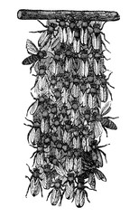 Vintage Vector Drawing or Antique Engraving Illustration of Swarm of Honey Bees or Honeybees is Building New Nest