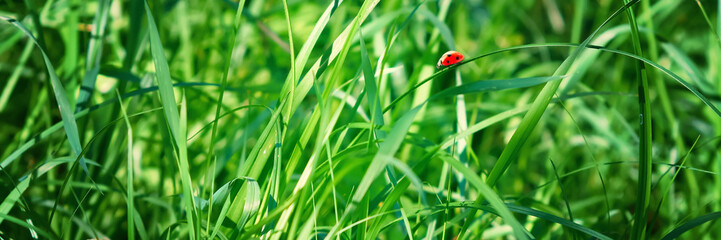 Fresh green grass on a meadow in the sunlight, ladybug on the grass, macro, spring summer natural...