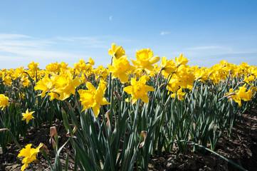 Papiers peints Narcisse Daffodil Flowers in Flower Field Landscape