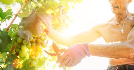 Man farmer cuts a grape bunches. Vintage time concept image
