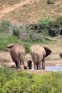 Elefant with Baby