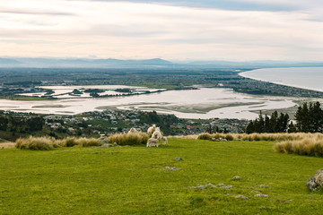 Sheep on uphill pasture at sunset, Canterbury, New Zealand