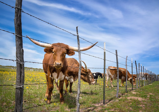 Texas longhorn cattle on spring pasture