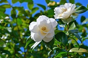 木漏れ日浴びて咲く満開の白い椿の花