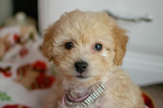 Poodle mix puppy headshot