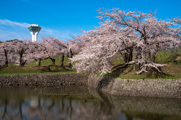 Wall Mural - 五稜郭の桜と五稜郭タワー