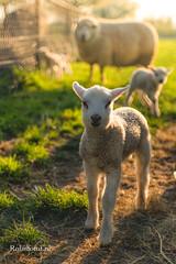 Fond de hotte en verre imprimé Sheep dsfsd