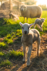 Fond de hotte en verre imprimé Sheep lamb in the field