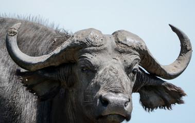 Buffalo in Safari group