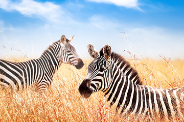 Wall Mural - Zebras in the African savanna against the blue sky with clouds. Wildlife of Africa.