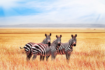 Fotobehang Zebra Group of wild zebras in the African savanna against the beautiful blue sky with clouds. Wildlife of Africa. Tanzania. Serengeti national park.